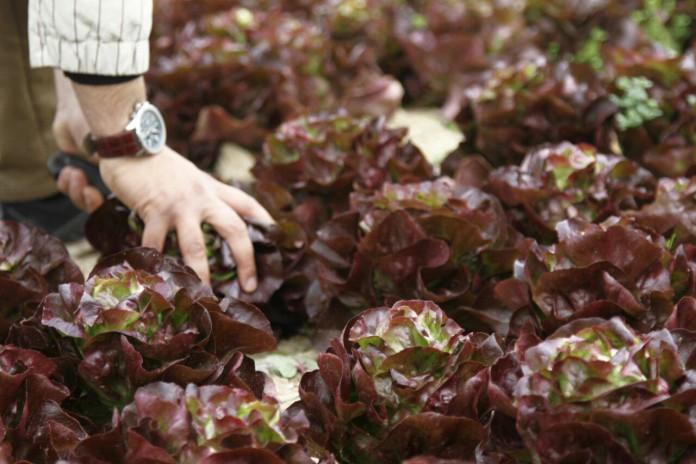 مهمترین خواص کاهوی فرانسوی قرمز برای سلامتی